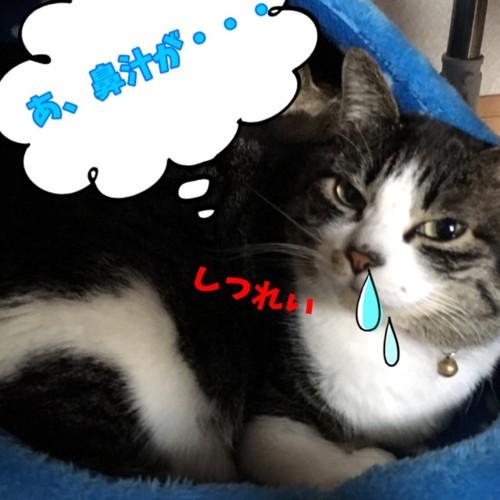 鼻水が垂れる猫