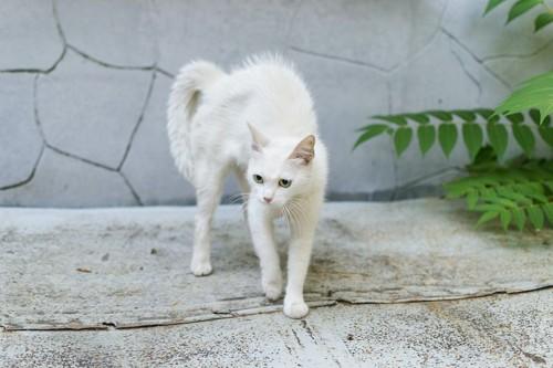 毛を逆立てて自分を大きく見せようとする猫