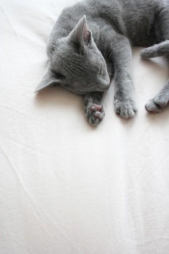 布団のシーツの上で眠るロシアンブルー