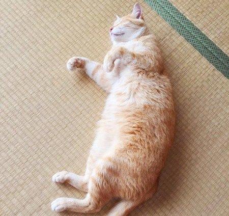 たたみの上にお腹を出して寝ている猫