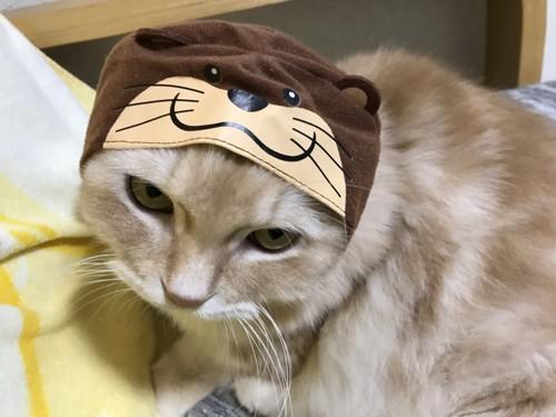 かわうそのかぶりものをした猫