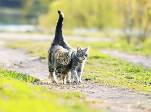 尻尾を寄せ連なって歩く二匹の猫