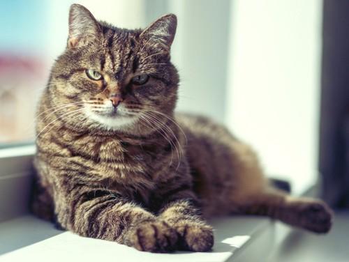 窓辺で休む猫