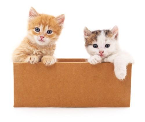 箱に入る2匹の猫