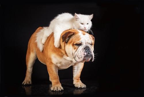 犬の上に乗ってくつろぐ白猫