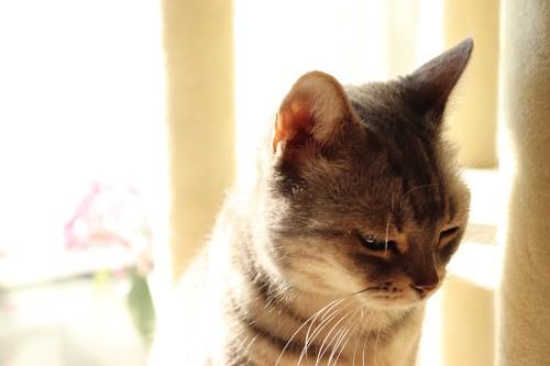 うつむいて寂しそうな顔をする猫
