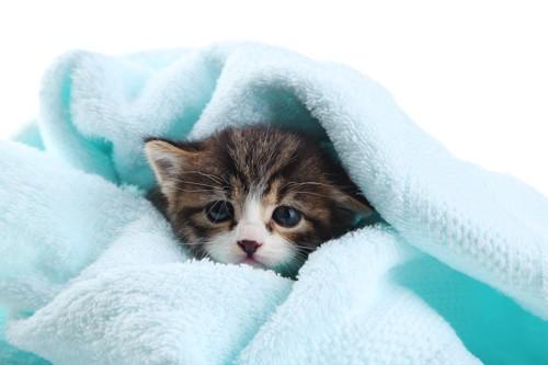 タオルに包まれている子猫