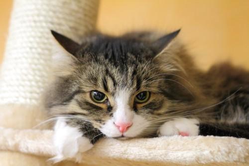 キャットタワーからじっとこちらを見る猫