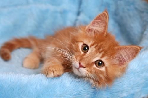 青い毛布の上からこちらを見る子猫