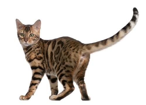尻尾をあげている猫