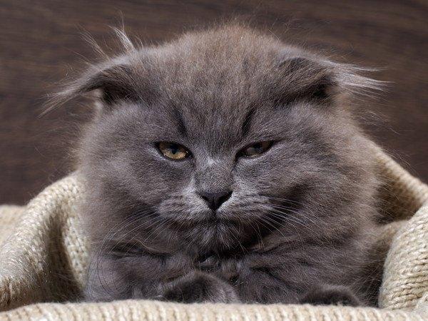 寝起きの灰色の猫