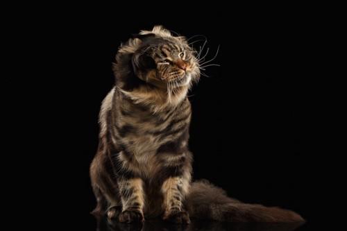 頭をブルブルと振る猫