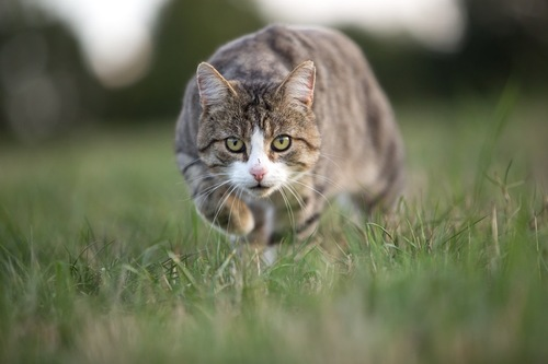 狩りしている猫