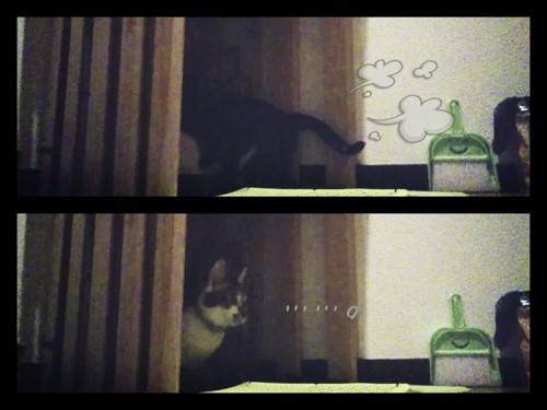 トイレに入った猫