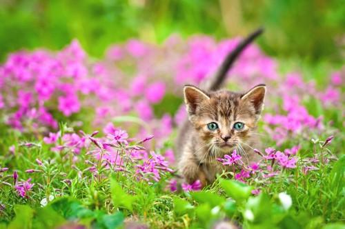 お花畑を歩く子猫