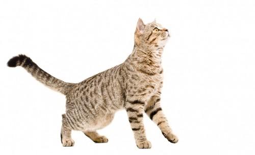 かぎ尾の猫