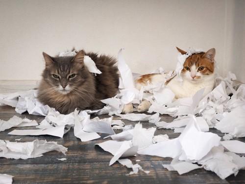 紙を散らかした二匹の猫