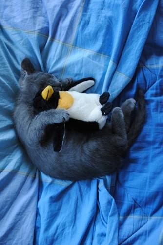 ペンギンのぬいぐるみを抱いて眠る猫