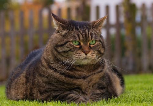太っている猫