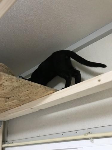 キャットウォークを使う猫