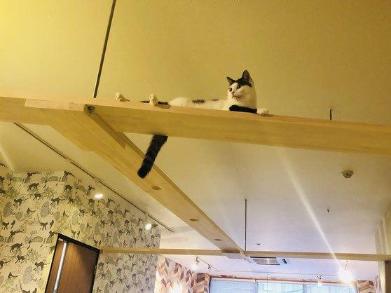 https://www.kagonyan.com/ /「並木坂店より」のキャットウォークの上の猫