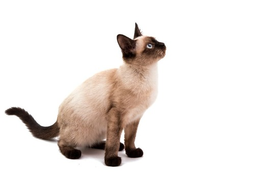 上を見て座るシャム猫