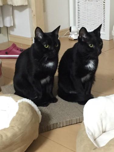 並んで座る2匹の黒猫