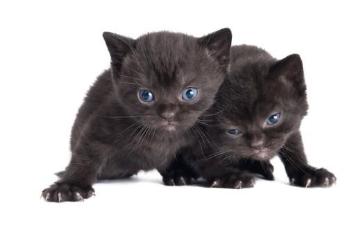青い瞳のブリティッシュショートヘアの二匹の子猫