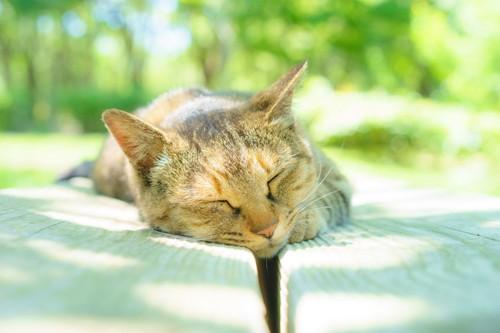 日向ぼっこしている麦わら猫
