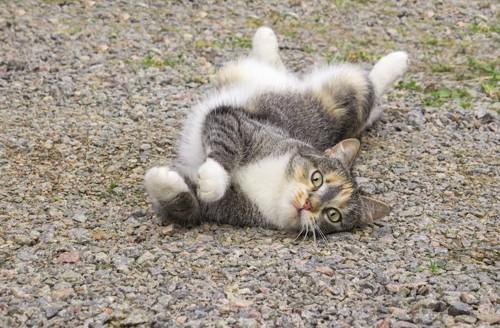 仰向けに寝転んでこちらを見る猫