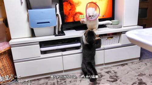 テレビの前でケンカする猫