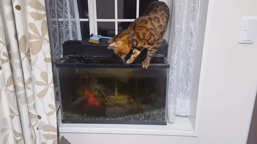 水槽の右側に立っている猫