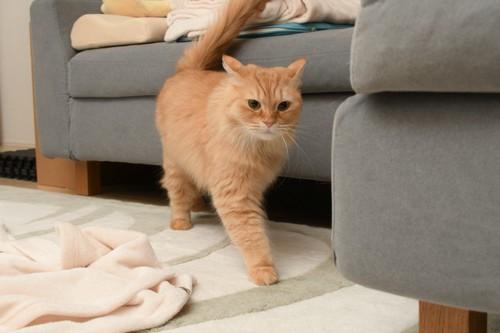 しっぽを立てて歩く茶色い猫