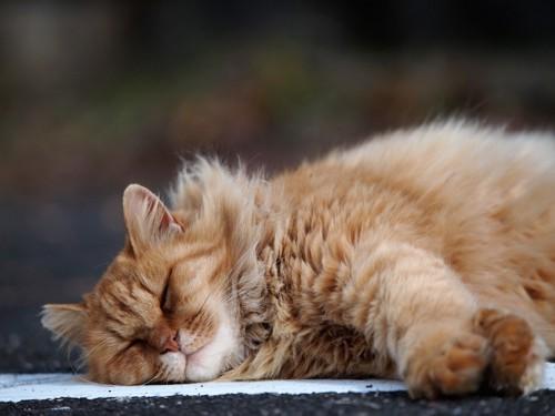 寝るフワフワの猫