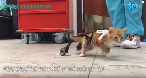 新しい車椅子を装着した猫