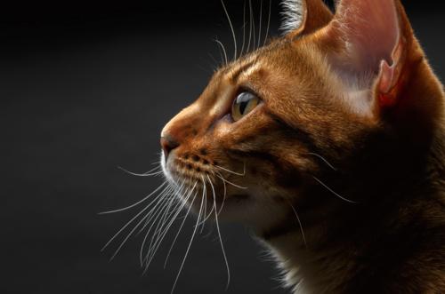 たそがれるベンガル猫