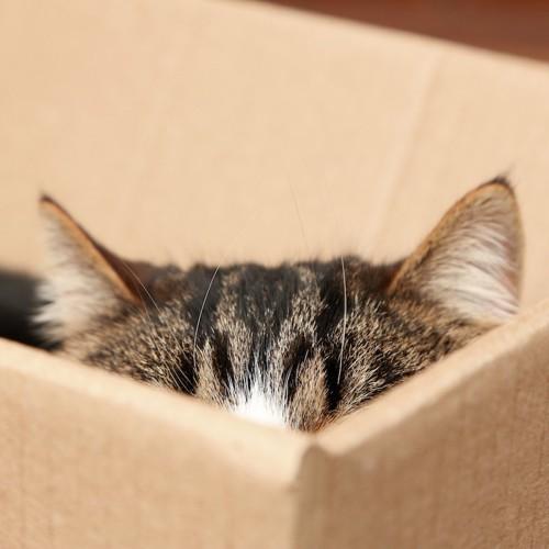 段ボール箱に入った猫の耳
