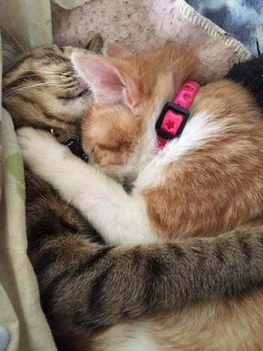 抱き合って寝るキジトラと茶トラ白