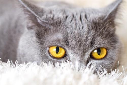 金色の猫の目アップ