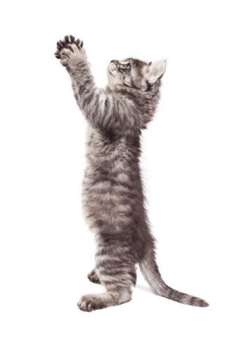 立ち上がって手を伸ばしている子猫