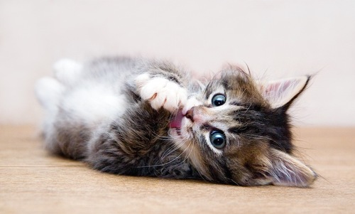 寝ながら毛づくろいする仔猫