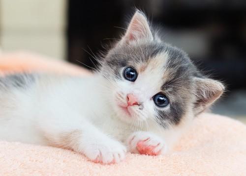 毛布の上でこちらを見ている子猫