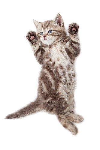 お腹に膨らみのある立ち上がった子猫