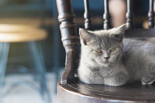 椅子の上でくつろぐロシアンブルーの子猫