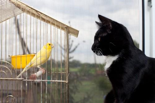 カゴの黄色い鳥を見つめる白黒猫