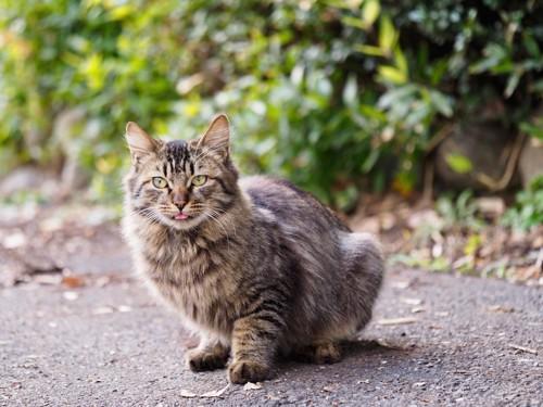 屋外で舌を出して座るキジトラ猫