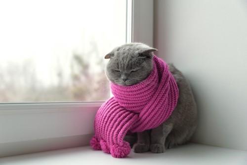 マフラーにくるまる猫