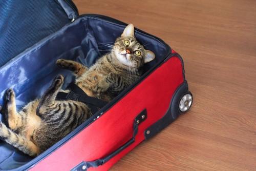 スーツケースの中で寝転がる猫