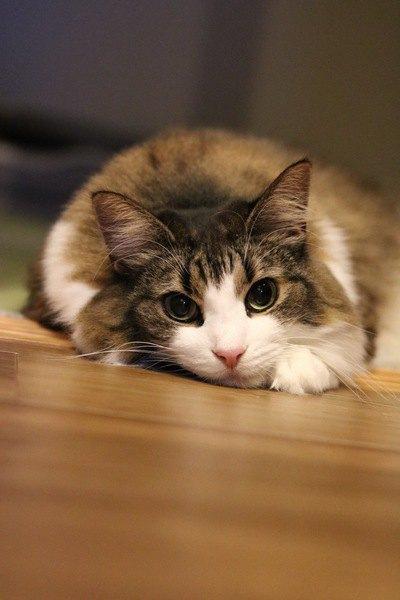 床に伏せて見つめる猫