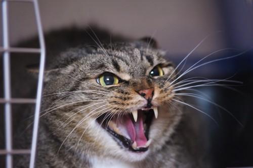激しく威嚇して怒る猫